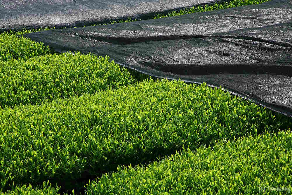 Teegarten Grüntee Beschattung