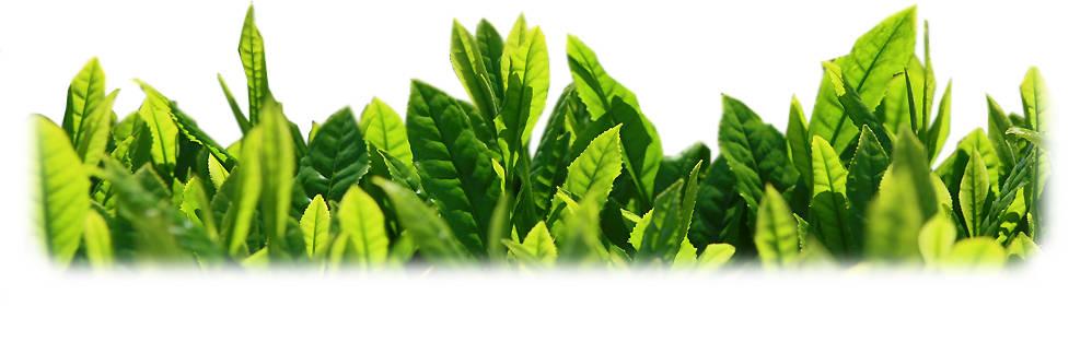 Frische, junge Blätter der Grünteepflanze Camellia Sinensis für die Matcha Produktion