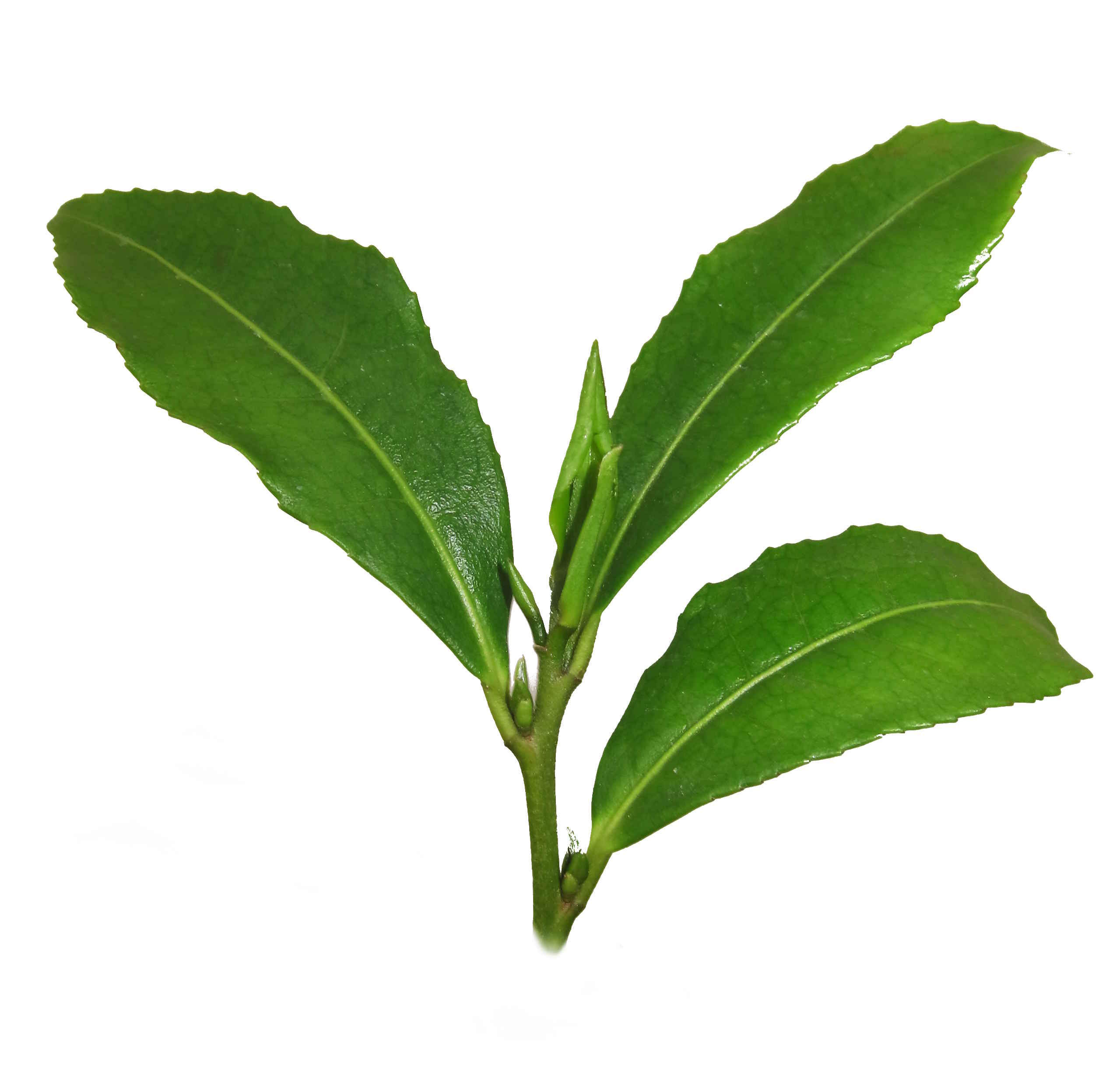 Pflanze Grüner Tee (Camellia Sinensis)